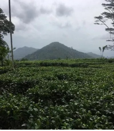 Tea Estate for Sale - Kahawatta